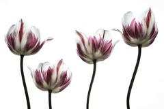 4 times the same Tulip (Funchye) Tags: 105mm d610 flower nikon rembrandttulip tulip tulipan blomst