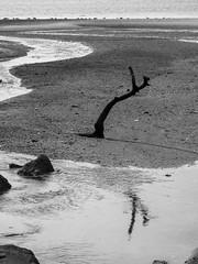 Large Branch In Tidal Flat Mud; Saddle Rock, New York (hogophotoNY) Tags: hogophoto greatneck newyork unitedstates us