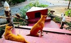 ,, Mama, Rocky, Monkeys ,, (Jon in Thailand) Tags: mama rocky dog dogs k9 k9s jungle primates monkeys spirithouse road nikon d300 nikkor 175528 red redtile 2dogs motherson bodyguards green yellow wildlife wildlifephotography ears whitesox handrail littledoglaughedstories