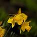 Daffodils%21+05