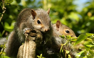 Grey Squirrel youngsters