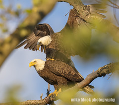 Bald Eagle pair at NJ shore see full size Canon 5DSR 800mm (Mike Black photography) Tags: bald eagle bird nature big year canon 5dsr 800mm body lens is usm l nj new jersey shore belmar white black birding flight raptor prey tree sky