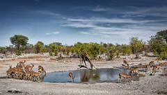Life around a waterhole (marko.erman) Tags: namibia africa etosha pan park safari sony waterhole water drinking animals wilderness wildlife giraffe springboks