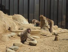 Mt Takao Monkey Park (jgatts) Tags: japanesemacaque mttakao japan hachiōjishi tōkyōto jp