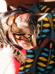Bertie (rospix+) Tags: rospix 2016 august wales uk animal tabby tabbycat cat light