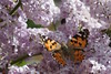 Wing Check (Guillermo S.L.) Tags: flores lilas syringa lilac spring insect butterfly