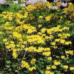 Clyne In Bloom Early May 2017 (12) (goweravig) Tags: azaleas bloom flowers clyne clynegardens swansea mayals wales uk parks gardens