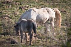 Caballos del delta del Llobregat (efe Marimon) Tags: canoneos70d felixmarimon catalunya barcelona elprat deltadelllobregat parcnaturaldeldeltadelllobregat aves caballos