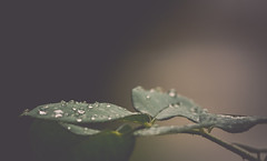 The calm after (Ayeshadows) Tags: leaves raindrops calm