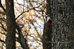 Woodpecker (EXPLORE) (Amberinsea Photography) Tags: woodpecker bird birdcapture wood tree nature amberinseaphotography sweden möllegård explore explored