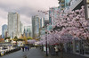 Spring blossoms in Coal Harbour neighborhood of downtown Vancouver (yuanxizhou) Tags: architecture amazing wonderful awesome spring tourist stores walk skyline city street vancouver downtown cherryblossoms coalharbor