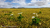 Flower Power (Panorama Paul) Tags: paulbruinsphotography wwwpaulbruinscoza southafrica westerncape westcoast spring flowercarpet yellowflowers flowers clouds nikond800 nikkorlenses nikfilters
