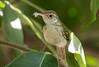 Greenish warbler (mshubhajyoti) Tags: shubhajyotimohapatra shubhajyotiphotography ngc fantasticwildlife nikonian nikkorafp birdsiitk birdwatcher bird outdoor