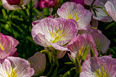 Siskiyou Pink Sundrops (114berg) Tags: 14may17 hybiscus hanging petunia basket siskiyou pin sundrops red vining geraniums front yard garden geneseo illinois