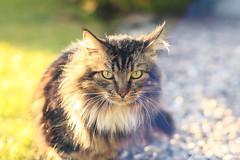 William x Jupiter-9 (Alexandre D_) Tags: canon eos 70d cat cats chat animal domestic fluffy flare blue jupiter9 85mmf2 юпитер9 m42 m42mount m39 manuallens oldlens vintagelens soviet russianlens bokeh bokehlicious sunset sun light spring