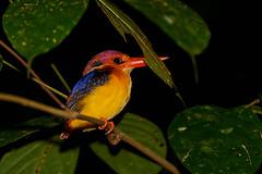 BOR_0864 (lucvanderbiest) Tags: rufousbackedkingfisherorientaldwarfkingfisher jungeldwergijsvogel borneo maleisië sabah danumvalleywildlifereserve