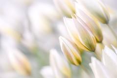 Light (Tracey Rennie) Tags: tulip innextdoorsgarden highkey actuallytakenatduskastheywereclosing sliderssunday tulipatarda