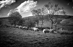 Rural Rochdale (Missy Jussy) Tags: rural farming sheep rochdale landscape lancashire fields hillside clouds trees northwest england mono monochrome blackwhite bw lowkey vignette canon canon5dmarkll 50mm ef50mmf18ll canon50mm