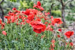 nei campi di agricoltura biologica si trovano più papaveri (albygent Alberto Gentile) Tags: poppies papaveri campo agricolturabiologica campagna countryside focus bokeh