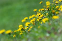 Dandelion / Taraxacum officinale (stoplamek) Tags: mniszeklekarski mniszekpospolity gewöhnlicherlöwenzahn dandelion taraxacumofficinale taràssacocomune