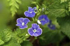 """""""Veronica Chamaedrys"""" -  Ereprijs (kunstschieter) Tags: macro veronicachamaedrys ereprijs flower intothewoods"""