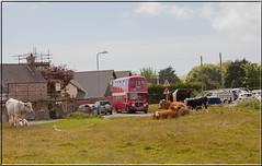 (14) AEC Regent V - GWN 867E (Crowbuster) Tags: bus red double decker heritage public transport nolstalgia swansea museum gower abertawe welsh walescymru cows bovine cattle rural history sheep southgate pennard london
