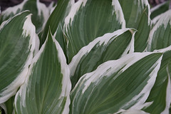 DSC05723 (Old Lenses New Camera) Tags: sony a7r pentax pentaxsmca pentaxamacro macro 100mm f28 plants garden leaves hostas
