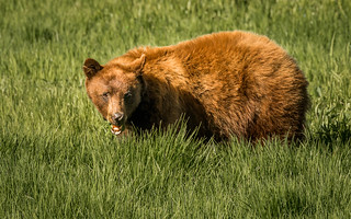 Bear #1 with Injured Snout__EXPLORE