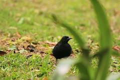 IMG_2862 (JennaF.) Tags: animal ave negra cesped jardin horacio universidad antonio ruiz de montoya lima peru uarm blackbird hojas secas
