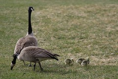 _mg_0535_2017May13.cr2 (donaldm314) Tags: calgary places zoo focused150 gosling canadagoose