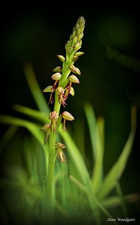 Man Orchid - Bedfordshire