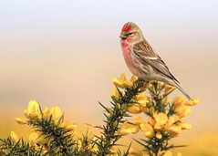 Lesser Redpoll on Dartmoor (Explore) (Twogiantscoops) Tags: sky canon southwest westcountry light luminosity creative 100400mm canon100400mm crop country west countryfile photoshop bird pastel bushes wildlife gorse painterly field twogiantscoopsaolcom lesserredpoll secret painting creativity devon camouflage manfrotto tripod photography art flowers levels nature wild project scoopsimages colours flora seasons donor camo raspberry countryside britishheartfoundation 7d outback birdphotography areyouanorgandonor giftoflife dartmoor