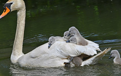 Happy Mother's Day (karinrogmann) Tags: höckerschwan cignoreale muteswan küken pulcini chicks