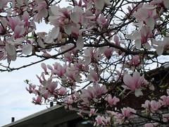 ** Fleurs de magnolia ** (Impatience_1) Tags: fleur flower magnolia branche branch mai may m impatience supershot coth saveearth sunrays5 abigfave alittlebeauty coth5