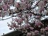 ** Fleurs de magnolia ** (Impatience_1 (peu...ou moins présente...)) Tags: fleur flower magnolia branche branch mai may m impatience supershot coth saveearth sunrays5 abigfave alittlebeauty coth5