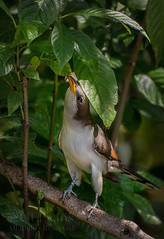 Yellow-billed Cuckoo Gleaning (ChristinaLEvans) Tags: yellowbilledcuckoo gleaning leaves wildcoffee backyard florida migration vertical color raincrow coccyzusamericanus stealthy largo usa