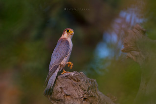 Red Headed Merlin, Red Necked Falcon