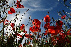 Dal punto di vista di una formica.... From the point of view of an ant (Marco_964) Tags: pov lowpow papaveri formica ant cielo blu sky poppies pentax perspective azzurro colori controluce flower fiori natura nature prato rosso red