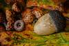 Bellota (Chechi Pe) Tags: verde resplandor roble bosque macr green glow oak forest nikon 105 d610 macromondays member'schoiceintothewoods monday bellota acorn semilla seed ocre quercus intothewoods