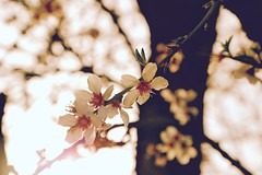 Almond blossom's in California not only they are beautiful but they also smelled so good (rose douglas) Tags: manualfocus canonprimelens ef24105mm bloomsflowerflowersbeautifulnaturegodscreationgodsgiftfemininebokehcompositionbokehaddictioncanoncanoneos6dcanon blossomblossomscaliforniaunitedstatesstateofcaliforniahollywoodcaliforniagrownalmondalmondblossomssunnycaliforniacountrysidefarmeralmondfarmfarmsweetalmondssmellgreatcountryfarm