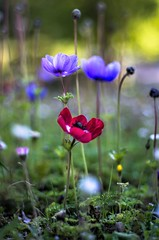 colors (ΞSSΞ®®Ξ) Tags: ξssξ®®ξ pentax k5 colors bokeh smcpentaxm50mmf17 italy spring 2017 plant outdoor depthoffield anemonecoronaria red blossom purple green light fabriano marche appennini nature flowers meadow grass pov perspective dof flower garden