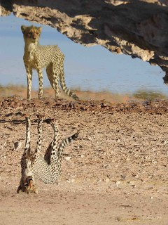 Reflexion Of Cheetah Cub