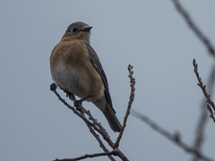 Eastern Bluebird (forwardbirds) Tags: 2017 capecod capecodorganicfarm easternbluebirdsialiasialis massachusetts barnstable