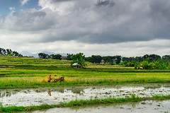 Ricefield (m@t.) Tags: 7dwf green indonesia landscape paysage nuage vert rizière bali hss ricefield