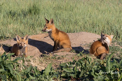 May 14, 2017 - Fox kits hanging out in Weld County. (Tony's Takes)