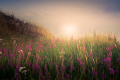 Flowers (andreassofus) Tags: landscape grandlandscape nature ocean sea seascape flower flowers field grass sky clouds summer summertime gotskasandön gotland sweden travel travelphotography sun sunlight beautiful mood moody outdoor