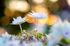 (Andreas.W.) Tags: vintage evening garden garten eveningmood sunset sonnenuntergang helios 58mm 442 helios44258mmf2 abendstimmung hortensie hydrangeaceae mühlviertel bloom blossom blüte wasserstrauch