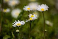 Daisies (The Ant Photos) Tags: yellow flowers nature macro flower travel closeup white green france garden close up reportage daisy natural light daisies assignment photograph archives pics