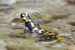 Feuersalamander (Aah-Yeah) Tags: feuersalamander firesalamander salamander salamandra caudata schwanzlurch weibchen achental chiemgau bayern larven