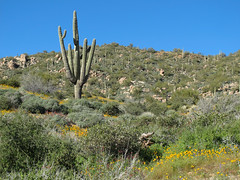 Giant Cactus and the Flowery Green Desert (zoniedude1) Tags: arizona desert landscape wildflowers springinthedesert saguaros giantcactusandtheflowerygreendesert giantcactus spring sonorandesert poppies mexicangoldpoppies eschscholziacalifornicasspmexicana papaveraceae saguarocactus saguaro carnegieagigantea cactaceae cactus giantsaguaro native flora beauty desertscape desertinbloom maricopacounty tontonationalforest desertspring2017 2280ftelevation inthewild outdoors hiking exploration discovery southwest nature canonpowershotg12 pspx9 zoniedude1 earthnaturelife